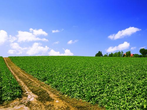 北海道、美瑛のサトウダイコン(てん菜)畑