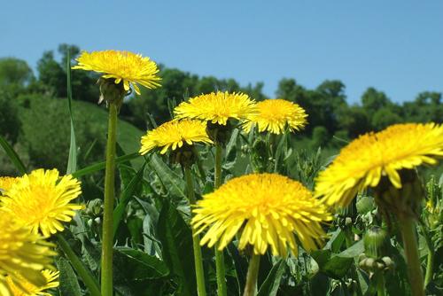たんぽぽの葉や根は、薬草として利用されている